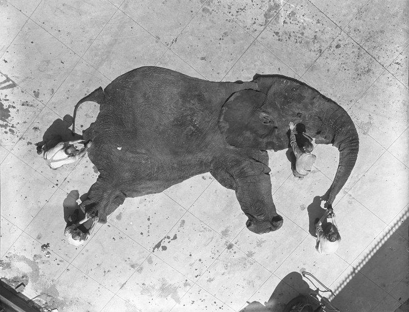 Elephants Annone The Elephant